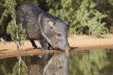 Starr County, Texas. Collared Peccary Family in Thorn Brush Habitat Photographic Print by Larry Ditto