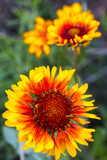 Blanket Flower Aka Brown Eyed SUSAn in Glacier National Park, Montana, USA Photographic Print by Chuck Haney