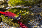 Kokanee Salmon Head Upstream in Spawning Grounds in B.C, Canada Photographic Print by Chuck Haney