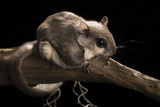 Southern Flying Squirrel, Controlled Situation, Florida Photographic Print by Maresa Pryor