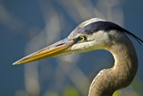 Florida, Venice, Great Blue Heron, Portrait Photographic Print by Bernard Friel