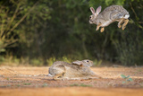 Starr County, Texas. Eastern Cottontail Rabbits at Play Reproduction photographique par Larry Ditto