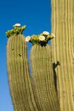 Saguaro Cactus in Bloom, Sonoran Desert Near Tucson, Arizona Reproduction photographique par Susan Degginger