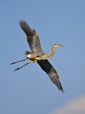 Florida, Venice, Great Blue Heron Flying Wings Wide Blue Sky Photographic Print by Bernard Friel