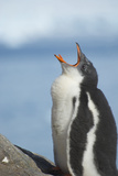 Antarctica. Neko Harbor. Gentoo Penguin Chick Calls Out for its Parent Photographic Print by Inger Hogstrom