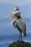 Great Blue Heron, Attempting to Preen on a Windy Day Photographic Print by Ken Archer