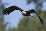 Bald Eagle Photographic Print by Ken Archer
