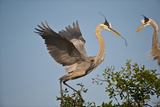 Florida, Venice, Great Blue Heron, Courting Stick Transfer Ceremony Photographic Print by Bernard Friel