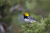 Kinney County, Texas. Golden Cheeked Warbler in Juniper Thicket Photographic Print by Larry Ditto