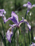 California, Sierra Nevada, Inyo Nf, an Iris Grows Out of a Meadow Photographic Print by Christopher Talbot Frank