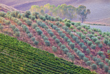 Olive Grove on the Rolling Hills of Tuscany Photographic Print by Terry Eggers