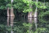 Cedar Trees in Suwannee River, Florida, USA Photographic Print by Sheila Haddad