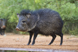 Starr County, Texas. Collared Peccary in Thorn Brush Habitat Photographic Print by Larry Ditto