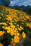 Spring, Mexican Gold Poppies Bloom in Saguaro National Park, Tucson, Arizona Reproduction photographique par Susan Degginger
