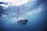 South Africa, Great White Shark Swimming in Sea Reprodukcja zdjęcia autor Stuart Westmorland