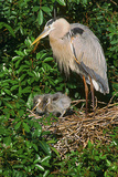 Florida, Venice, Great Blue Heron at Nest with Two Baby Chicks in Nest Photographic Print by Bernard Friel