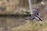 Mallard Drake Taking Flight Photographic Print by Ken Archer