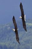 Bald Eagle Pair, Courtship Flight Fotodruck von Ken Archer