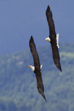 Bald Eagle Pair, Courtship Flight Photographic Print by Ken Archer