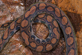 Rainbow Boa, Epicrates Cenchria Cenchria, Amazon, Ecuador. Captive Photographic Print by Pete Oxford