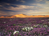 California, Wildflowers on the Dumont Dunes in the Mojave Desert Photographic Print by Christopher Talbot Frank