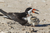 Port Isabel, Texas. Black Skimmers at Nest Reproduction photographique par Larry Ditto