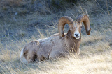 Rocky Mountain Bighorn Sheep, Ovis Canadensis Canadensis, B.C, Canada Photographic Print by Richard Wright