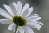Canada, British Columbia, Vancouver Island. Daisy Photographic Print by Kevin Oke