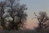 Bald Eagle, Winter Silhouette Photographic Print by Ken Archer