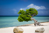 Weathered Fofoti Tree on the Beach of Aruba, West Indies Photographic Print by Brian Jannsen