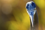 Great Blue Heron, Close Up Portrait Photographic Print by Ken Archer