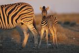 Namibia, Etosha National Park, Plains Zebra, Equus Burchellii, at Sunset Photographic Print by Paul Souders
