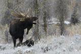 Ken Archer - Shiras Bull Moose Courting Cow Moose - Fotografik Baskı