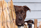 American Pit Bull Peeking at You Photographic Print by Zandria Muench Beraldo