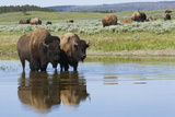 Bison Herd Photographic Print by Ken Archer