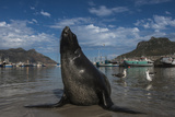 Cape Fur Seal, Hout Bay Harbor, Western Cape, South Africa Photographic Print by Pete Oxford