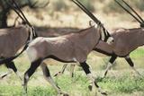 South Africa, Kalahari Gemsbok National Park, Gemsbok, Oryx Gazella, at Sunset Photographic Print by Paul Souders