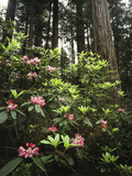 California, Del Norte Redwood Sp, Rhododendron in Coast Redwood Forest Photographic Print by Christopher Talbot Frank