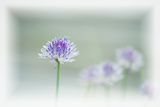 Chives Blowing in the Wind Photographic Print by Rona Schwarz