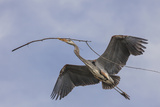Great Blue Heron in Flight, Returning to the Nest Photographic Print by Michael Qualls