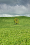 Terry Eggers - Lone Tree in Rolling Hills of Wheat Fotografická reprodukce