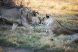 Lioness and Juvenile Nuzzling in Grassland, Botswana, Africa Photographic Print by Sheila Haddad