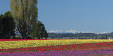 Charles Sleicher - Washington, Skagit Valley, Mount Vernon. Tulip Field with the Olympics Fotografická reprodukce