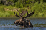 Bull Moose Feeding in Backcountry Lake in Glacier National Park, Montana, USA Photographic Print by Chuck Haney