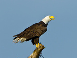 Florida, North Fort Meyers, Bayshore Drive, Bald Eagle Screaming Photographic Print by Bernard Friel