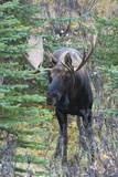 Shiras Bull Moose Photographic Print by Ken Archer