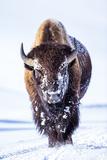 Wyoming, Yellowstone National Park, Bull Bison Walking in Hayden Valley Photographic Print by Elizabeth Boehm