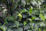 Breadfruit Tree, Artocarpus Altilis, Dominica Reproduction photographique par Susan Degginger