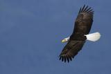 Weißkopfseeadler Fotodruck von Ken Archer