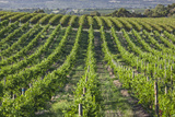 Australia, Fleurieu Peninsula, Mclaren Vale Wine Region, Vineyard View Photographic Print by Walter Bibikow